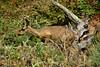 Black Tailed Deer - Point Lobos (1)