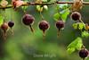 Berries - Point Lobos (4)