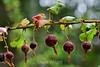 Berries - Point Lobos (10)