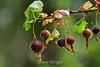 Berries - Point Lobos (11)
