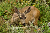 Black Tailed Deer - Point Lobos (5)