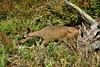 Black Tailed Deer - Point Lobos (2)