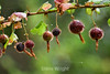 Berries - Point Lobos (5)