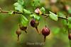 Berries - Point Lobos (2)