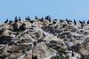 Cormorants - Point Lobos #1741