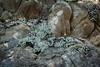 Bluff Lettuce - Point Lobos #1783