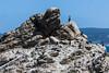 Cormorants - Point Lobos #1746