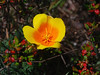 California Poppy   (Eschscholtzia californica)