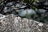 Western Fence Lizard - Yosemite #1477