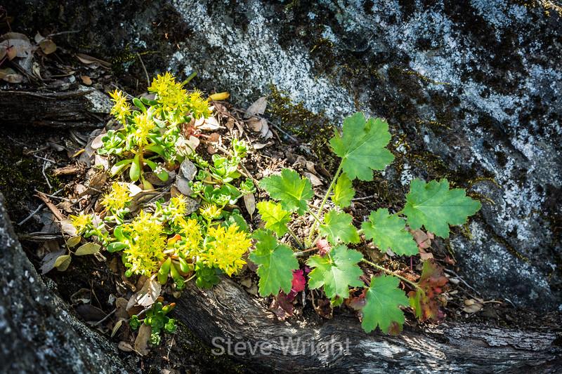 Flowers - Yosemite #1419