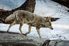 Coyote - Yosemite #0208