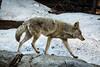 Coyote - Yosemite #0209