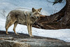 Coyote - Yosemite #0204