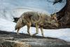Coyote - Yosemite #0206