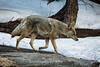 Coyote - Yosemite #0207