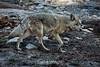 Coyote - Yosemite #0199