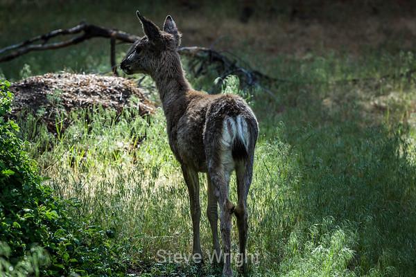 Black Tailed Deer - 2013