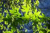 Maple Leaves - Yosemite #0313-Edit