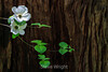 Dogwood - Yosemite #0274-Edit
