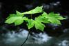 Maple Leaves - Yosemite #0535-Edit