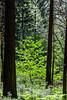Dogwood - Yosemite #0288