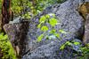 Maple leaves - Yosemite #0927