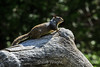 Ground Squirrel - Yosemite #1618