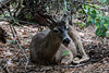 Black Tailed Mule Deer - Yosemite #8777