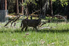 Blacktail Mule Deer - Yosemite #9099