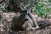 Black Tailed Mule Deer - Yosemite #8774