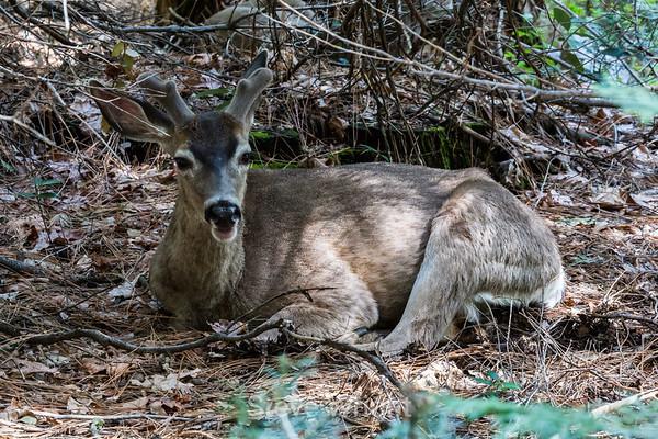 Black Tailed Mule Deer - 2014