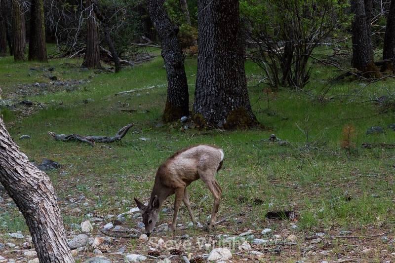 Black Tailed Mule Deer - Yosemite #7592