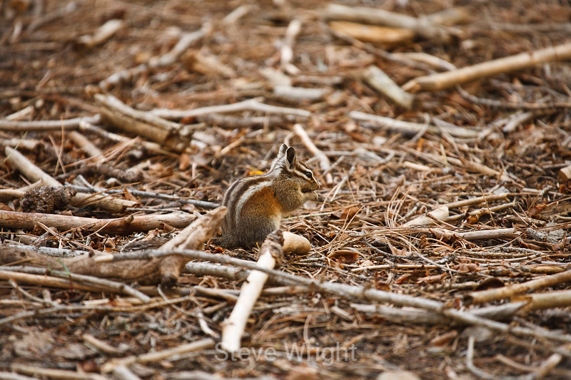 Grey-Collared Chipmunk - Mariposa Grove (1)