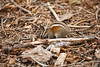 Grey-Collared Chipmunk - Mariposa Grove (3)
