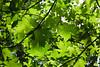 Leaves - Yosemite (16)