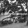Tanbark Oak, Elkhorn Slough