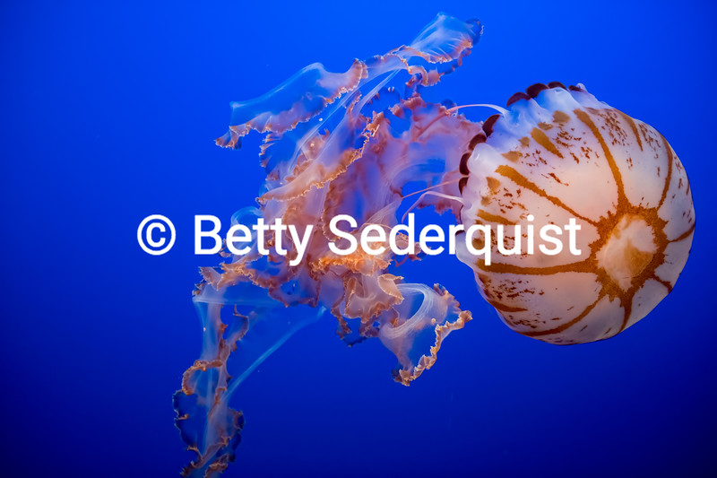 Purple Striped Jellyfish, Monterey Bay Aquarium
