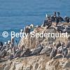 Cliffside Brown Pelicans, Santa Cruz