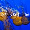 Jellyfish, Monterey Aquarium