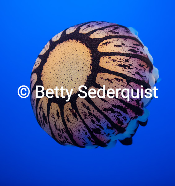 Top of Purple Striped Jellyfish, Monterey Aquarium