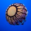 Top of Purple Striped Jellyfish, Monterey Aquarium