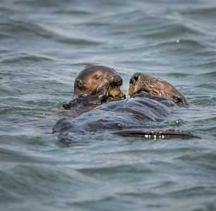 Baby Sea Otter Eating Clam Presented by Mom