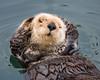 """""""Morro Bay Otter 1"""""""