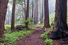 """Redwood Trees and Fog"""