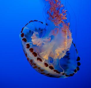 Purple Striped Jellyfish, Monterey Aquarium