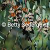 Wintering Monarch Butterflies, Santa Cruz, California