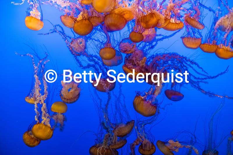 Numerous Sea Nettle Jellyfish, Monterey Aquarium