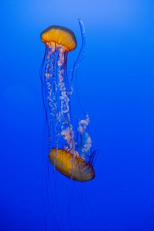 Sea Nettle Duo, Monterey Bay Aquarium