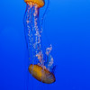 Sea Nettle Duo, Monterey Bay Aquarium