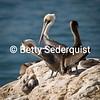 Preening Brown Pelicans, Santa Cruz